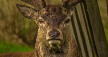 deer-952744_1280